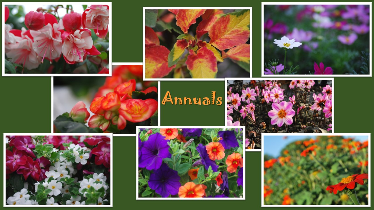 Annuals Blooms Garden Center Nursery